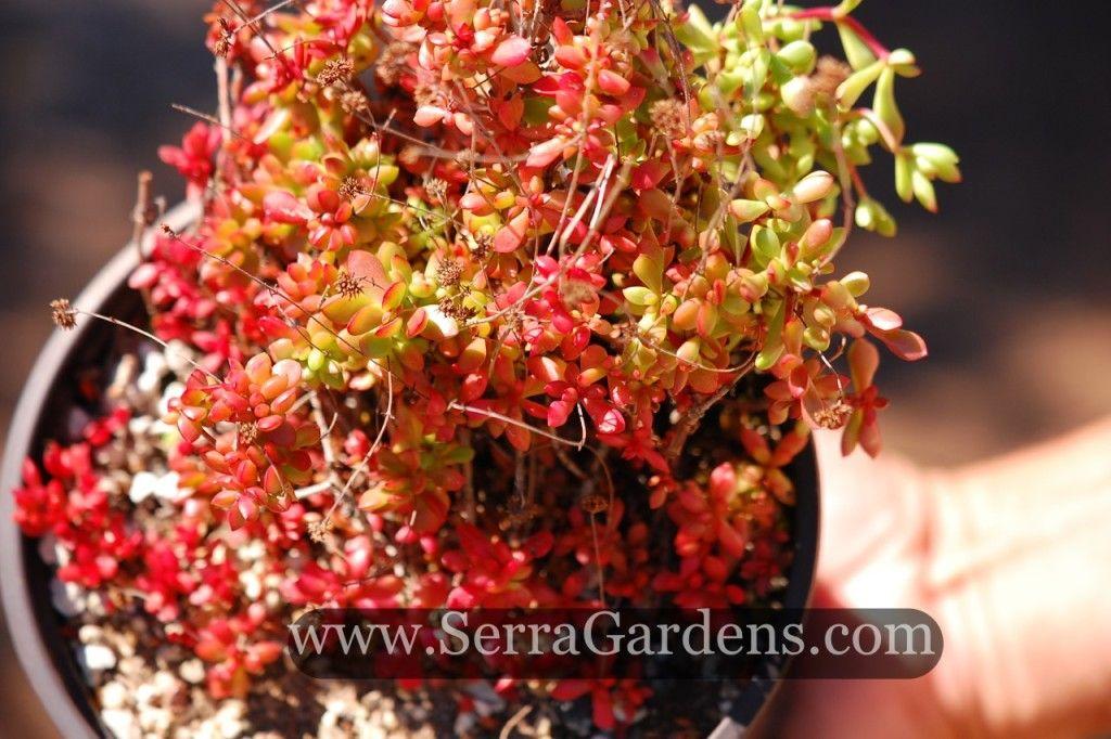 Crassula radicans Succulent ground cover, Succulents