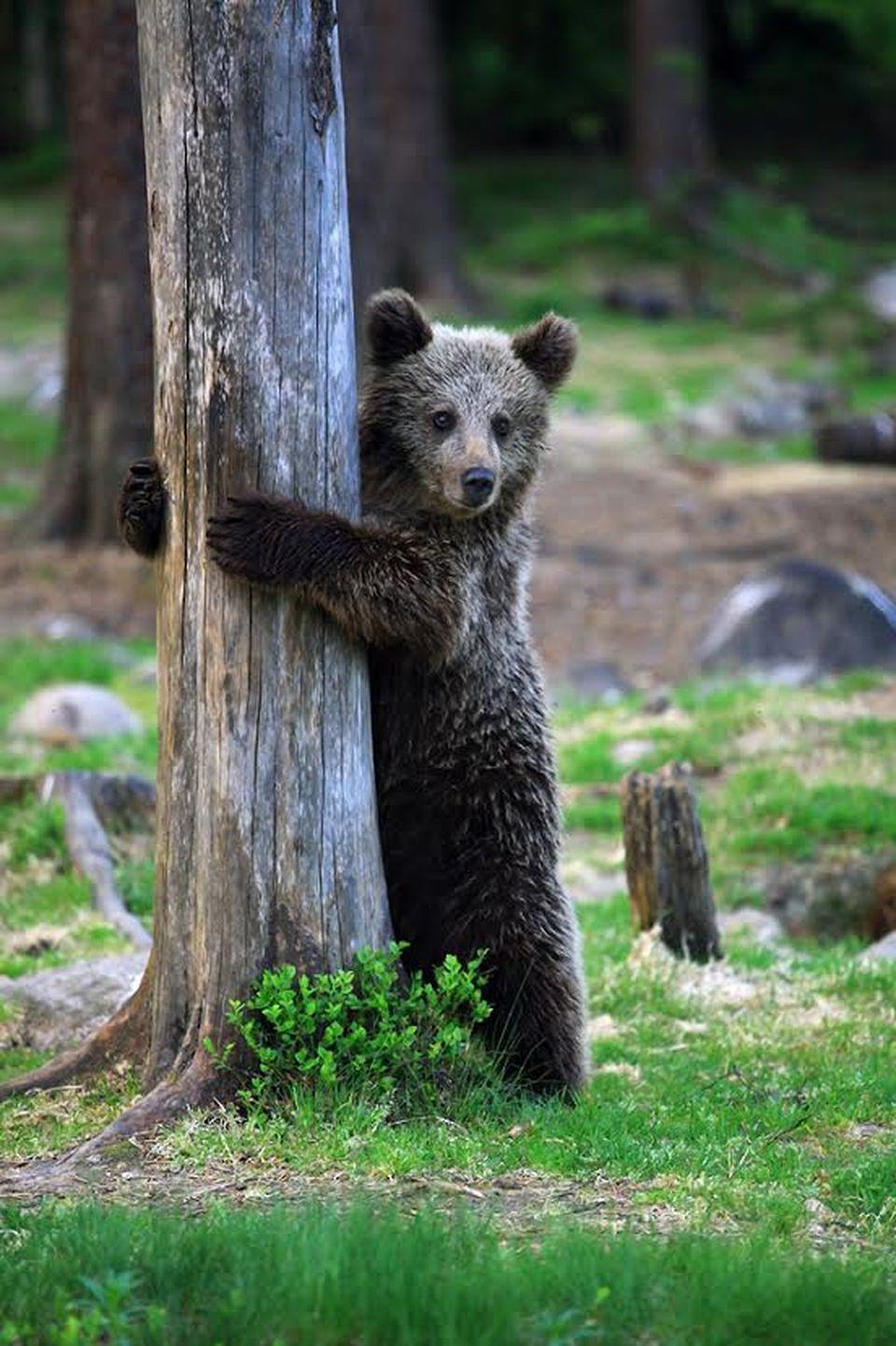 Valtteri Mulkahaisen Suomussalmella ottamassa karhukuvassa pentu kurkistaa puun takaa.