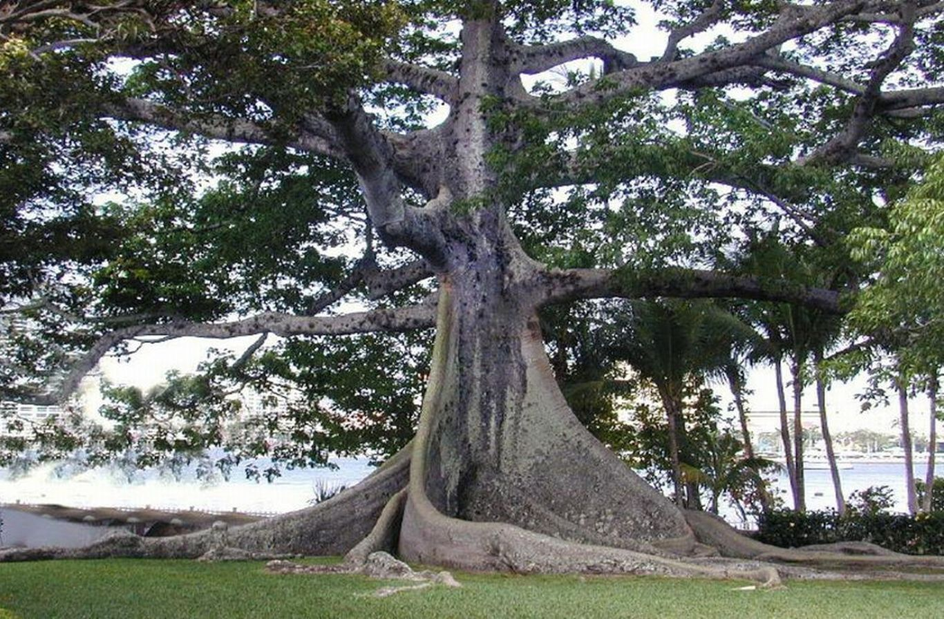 Kapok Tree | Trees | Pinterest