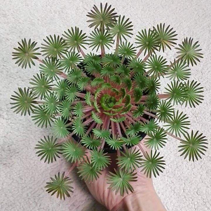#Gardenofplants #JardindePlantes #JardindePlantesgrasses #Oxalis #palmifrons Oxalis palmifrons - #Gardenofplants #Garden #JardindePlantesgrasses #JardindePlantesparis