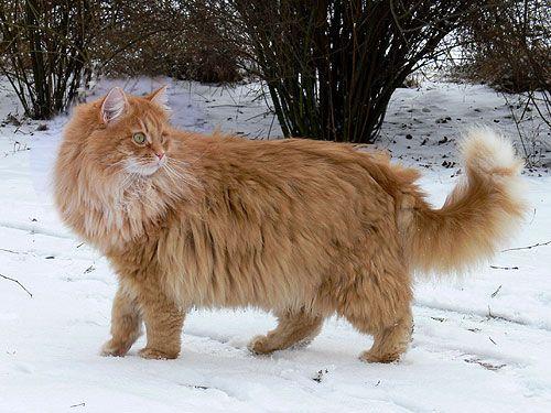 Sibirische Waldkatzen Vom Hohen Timp Sibirische Waldkatze Waldkatze Sibirische Katze