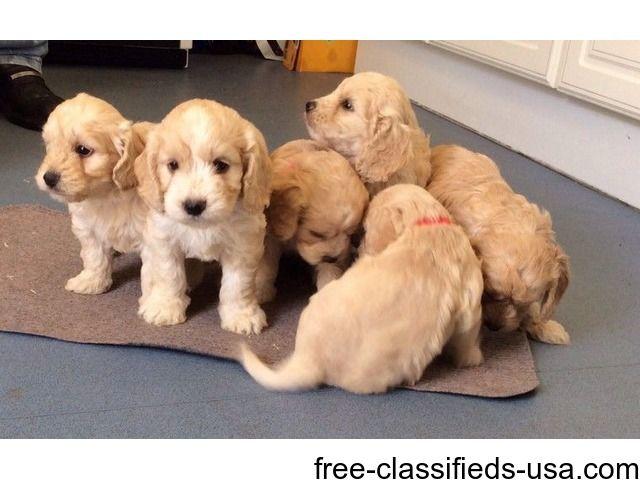 Fi Cockapoos Pups Cockapoo Puppies Cockapoo Puppies