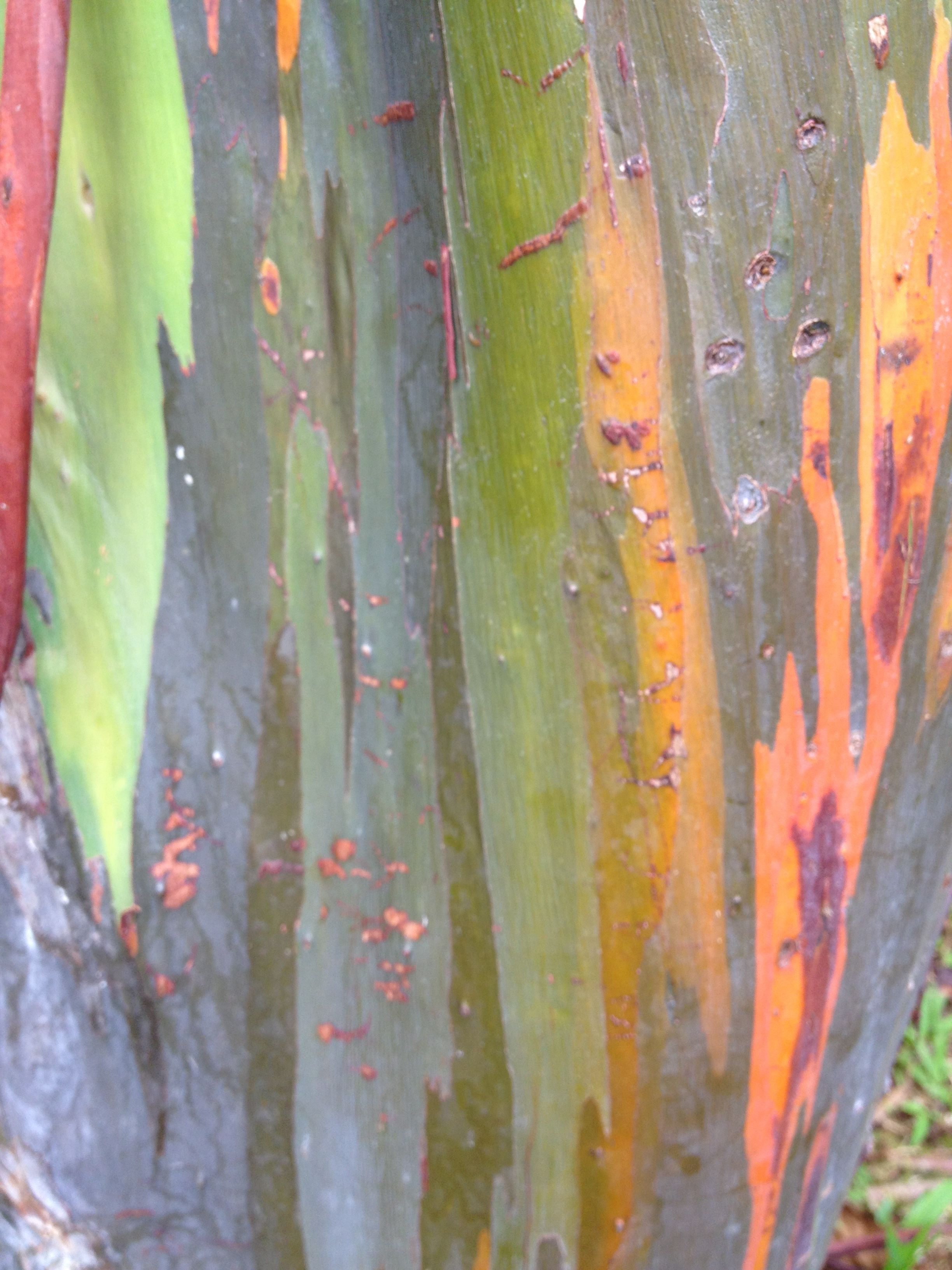 Unbelievably beautiful tree bark | Puerto Rico | Pinterest | Tree ...