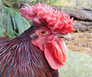 chicken with large comb