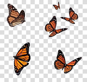 Full Six Flying Monarch Butterflies Transparent Background Png Clipart Butterfly Background Butterfly Watercolor Butterfly Illustration