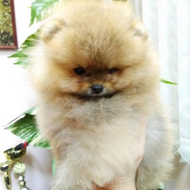 Pomeranian puppies for sale. Get pics and price o