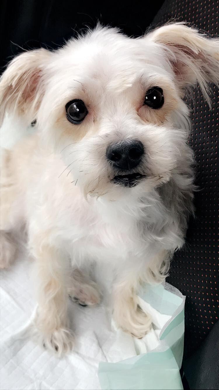 Maltese Dog For Adoption In Akron Oh Adn 759136 On Puppyfinder