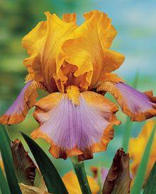 Brown Lasso German Iris