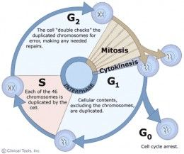 Stages Of The Cell Cycle Mitosis Interphase And Prophase