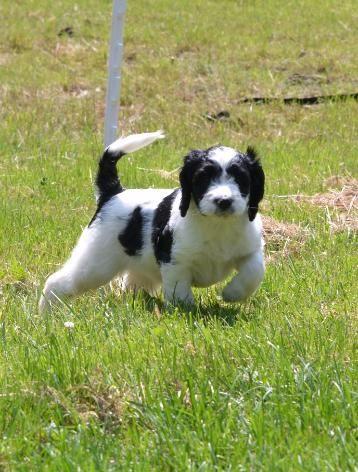 Springerdoodle Springerdoodle English Springer Spaniel Poodle Mix