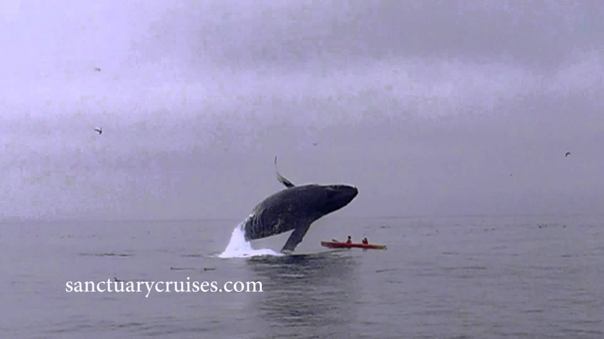 Humpback Whale Breaches On Top Of Kayakers Underwater