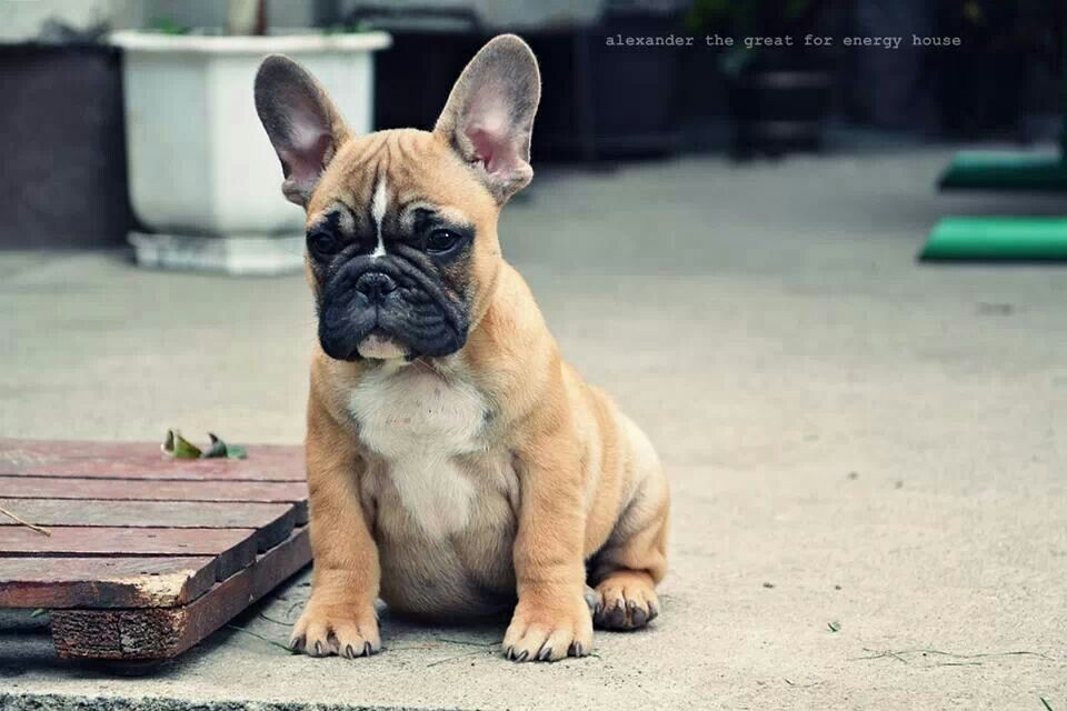 Image by Deedra RecordPerez on Frenchies French bulldog