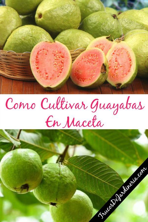 Como Cultivar Guayabas En Maceta