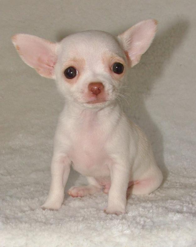 Pui Chihuahua De Vanzare Cute Chihuahua Teacup Chihuahua
