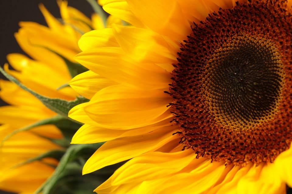Sunflower Sunflower Flowers Common Names