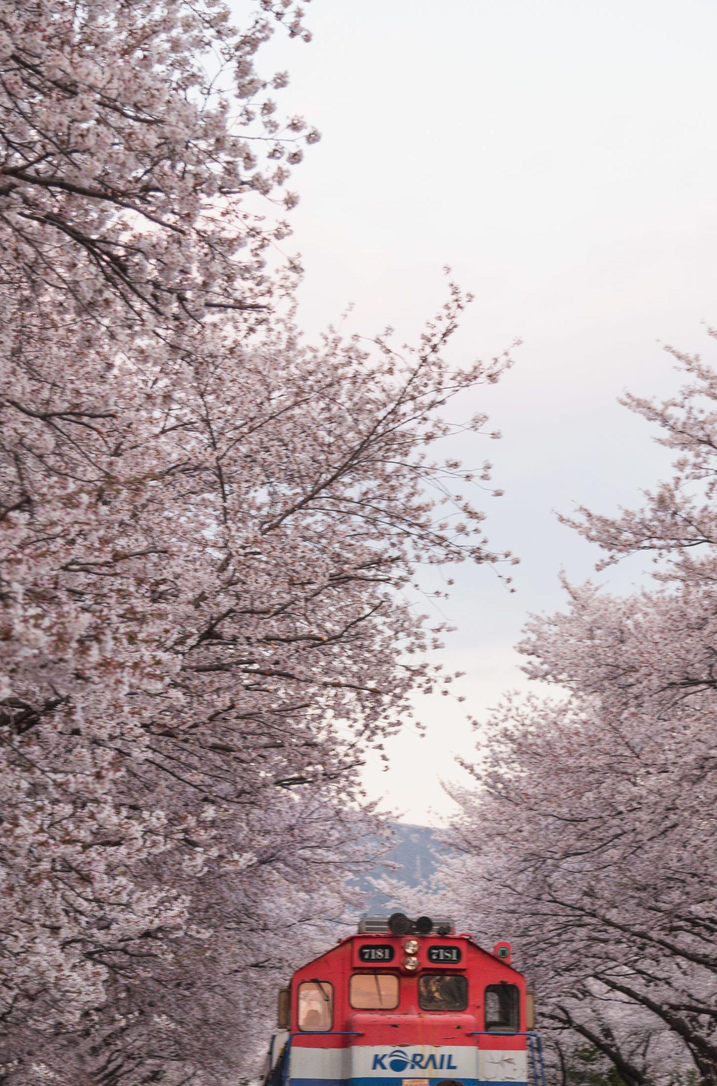 The Famous Jinhae Cherry Blossom Festival All You Need To Know In 2021 Cherry Blossom Festival Cherry Blossom Spring Festivals