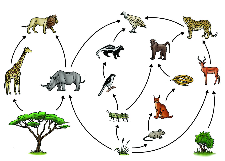 The Savanna food web. ThingLink Food web activities