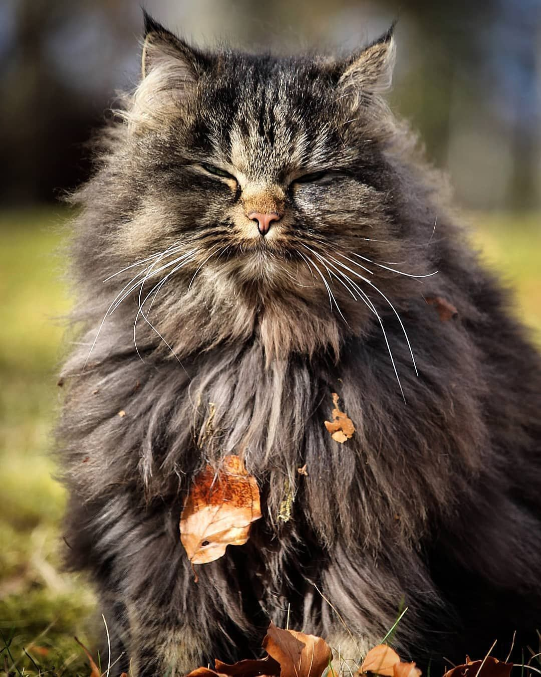 Pin on Maine Coon Owners