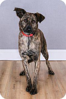 Cincinnati Oh Australian Kelpie Mix Meet Susie A Dog For Adoption Australian Kelpie Dog Adoption Pet Adoption
