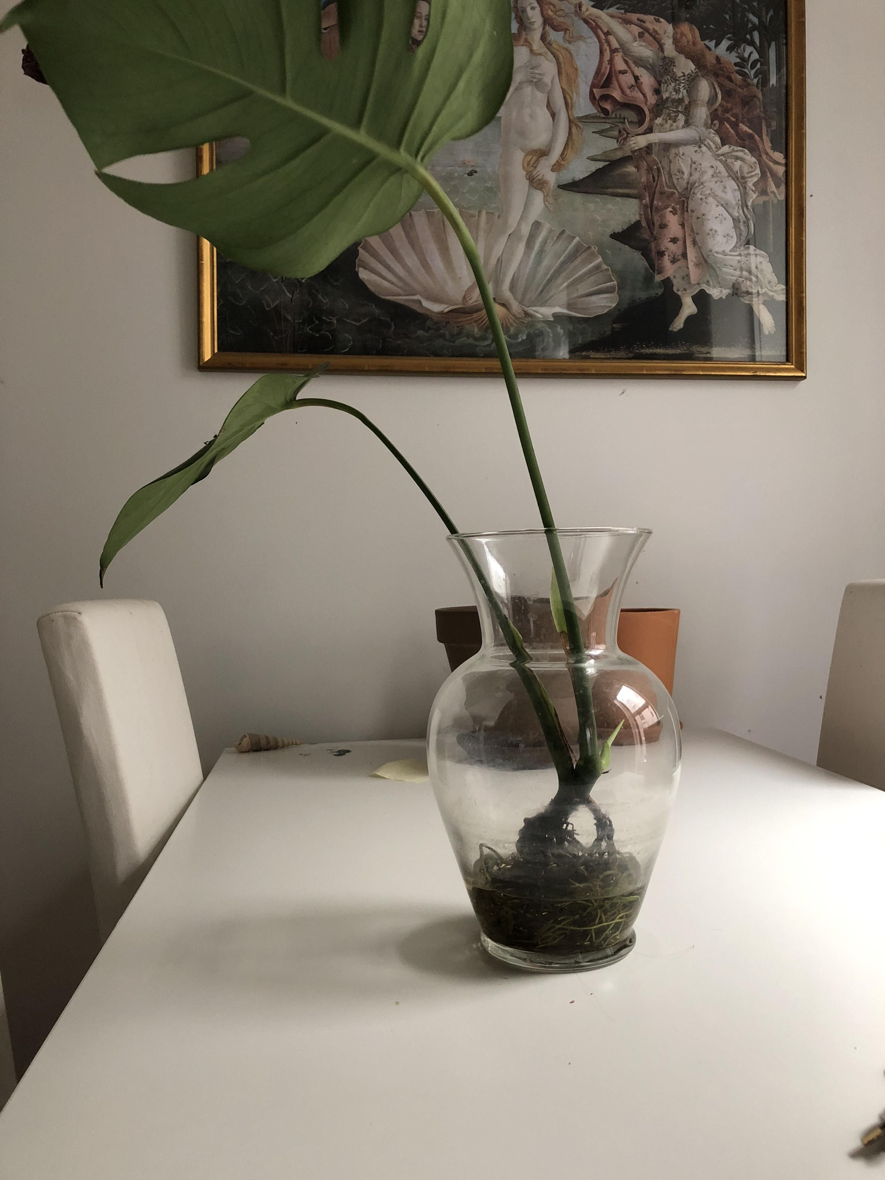 Transferring rooted plants from water to soil? HELP! Am I able to