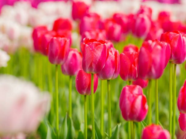 spring flowers series beautiful pink tulips in tulip field with blur