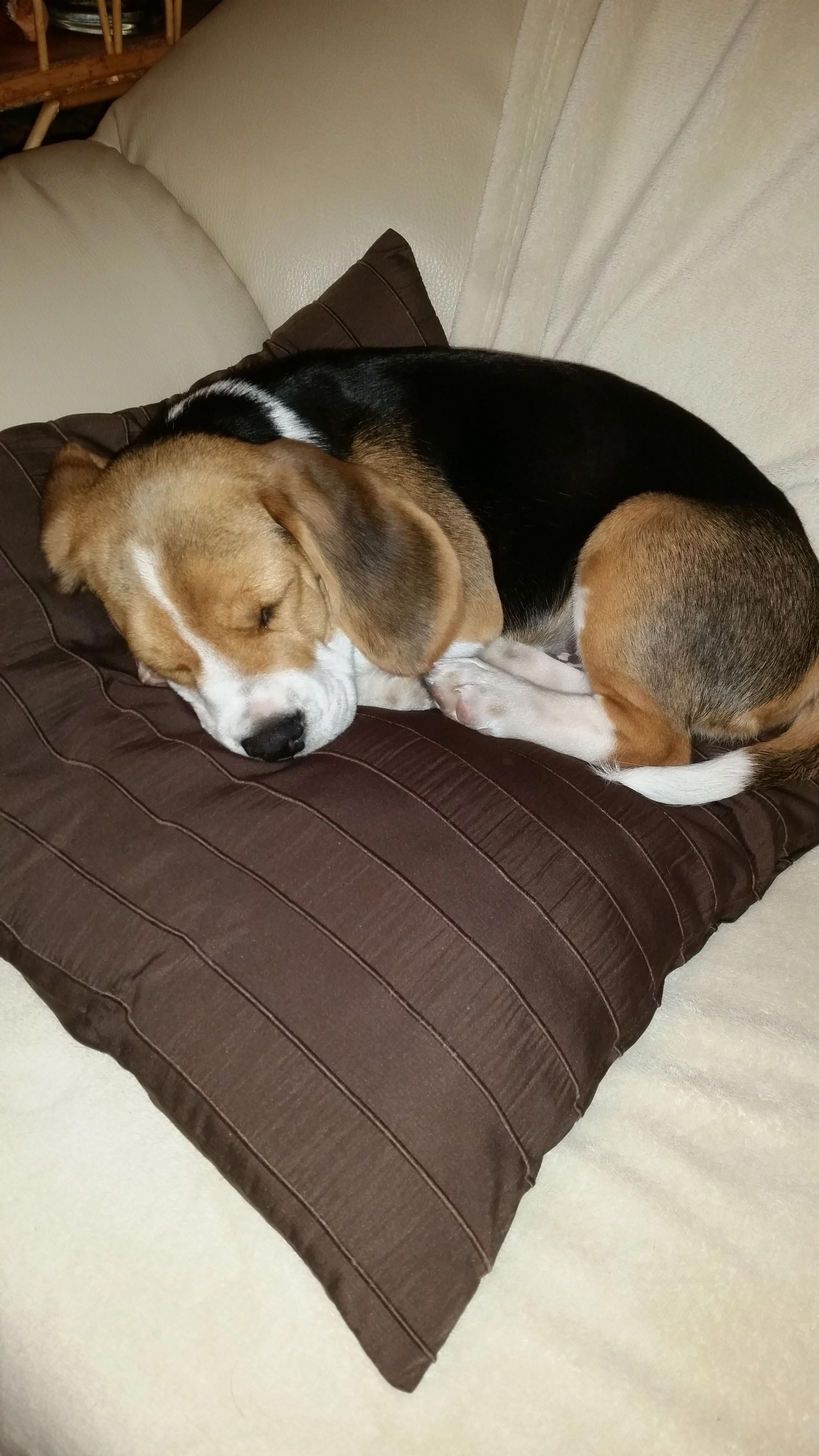 Sweet And Innocent Until They Wake Up Lol Beagle Beagle Puppy