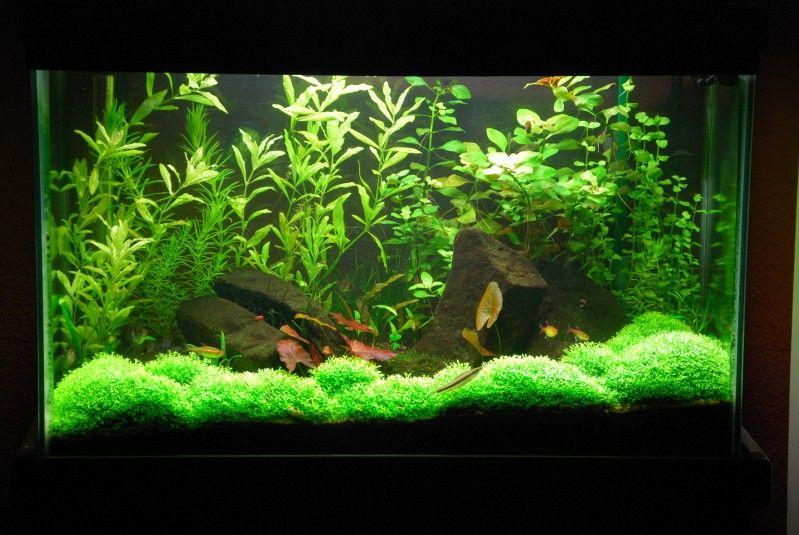Java Moss Carpeting The Bottom Of The Aquarium Freshwater Aquarium Plants Aquarium Freshwater Plants