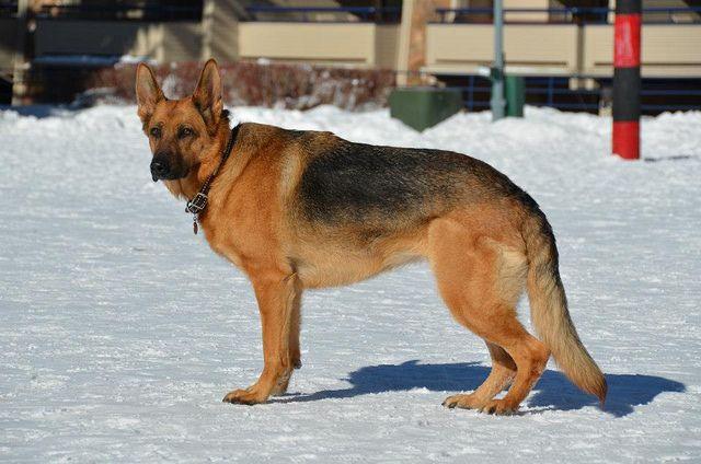 Aspen Dogs German Shepherd Dogs Dogs Golden Retriever German