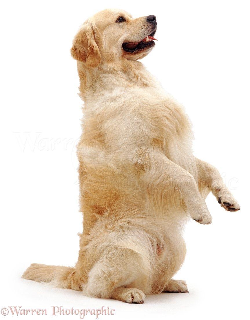 Dog Golden Retriever Begging Photo Golden Retriever Puppy Dog Photos Dogs And Puppies