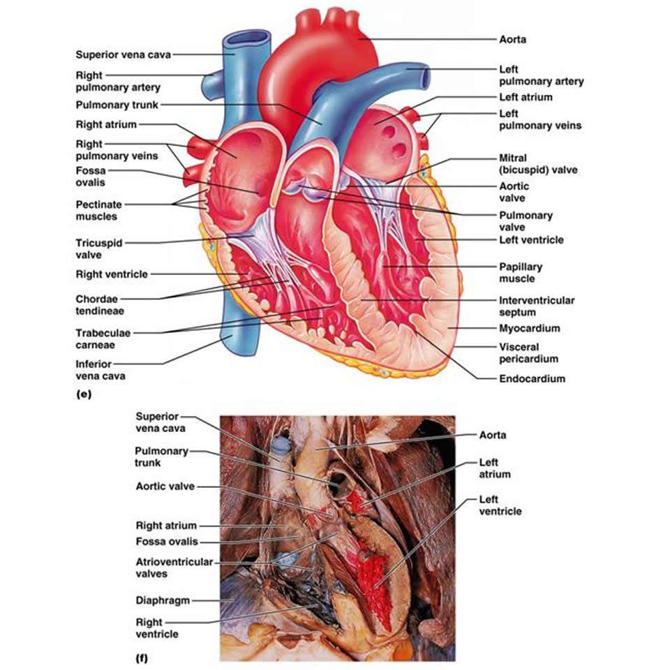 The Cardiovascular System The Heart Anatomy Physiology Heart