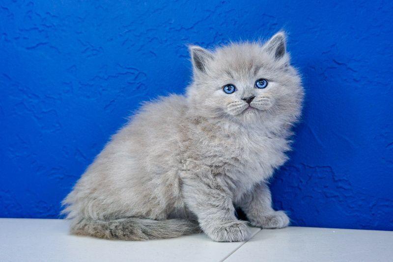 Ragdoll Kittens For Sale Near Me  Ragdoll Kittens For -8809
