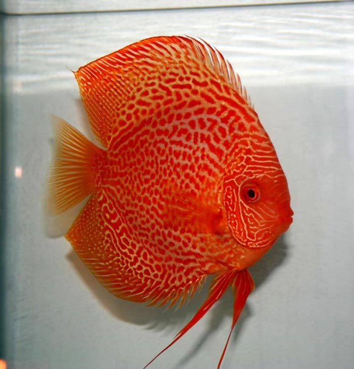 Albino Leopard Snakeskin Discus Fish From Discus Delivery