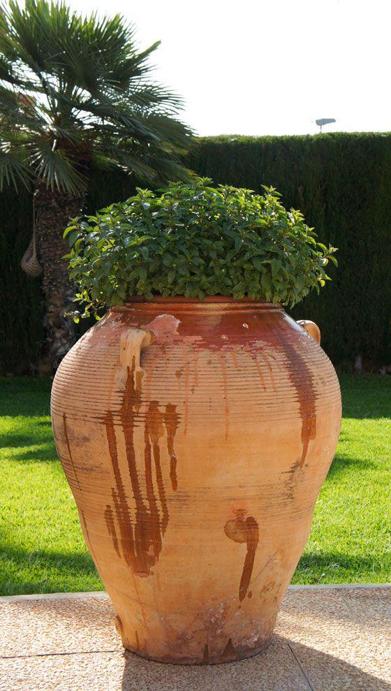 Planta de albahaca o alf bega tipica de los jardines for Plantas jardin mediterraneo