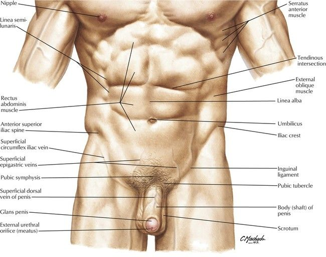 Image Result For Pelvic Muscles Anatomy Surface Anatomy Lower