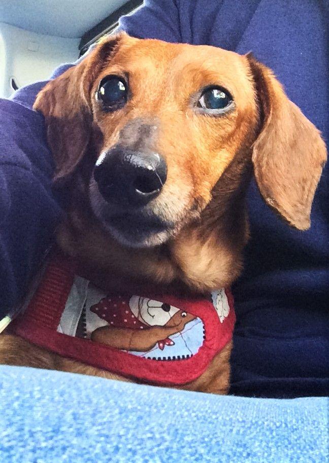 Dachshund dog for Adoption in Lewisburg, TN. ADN786192 on