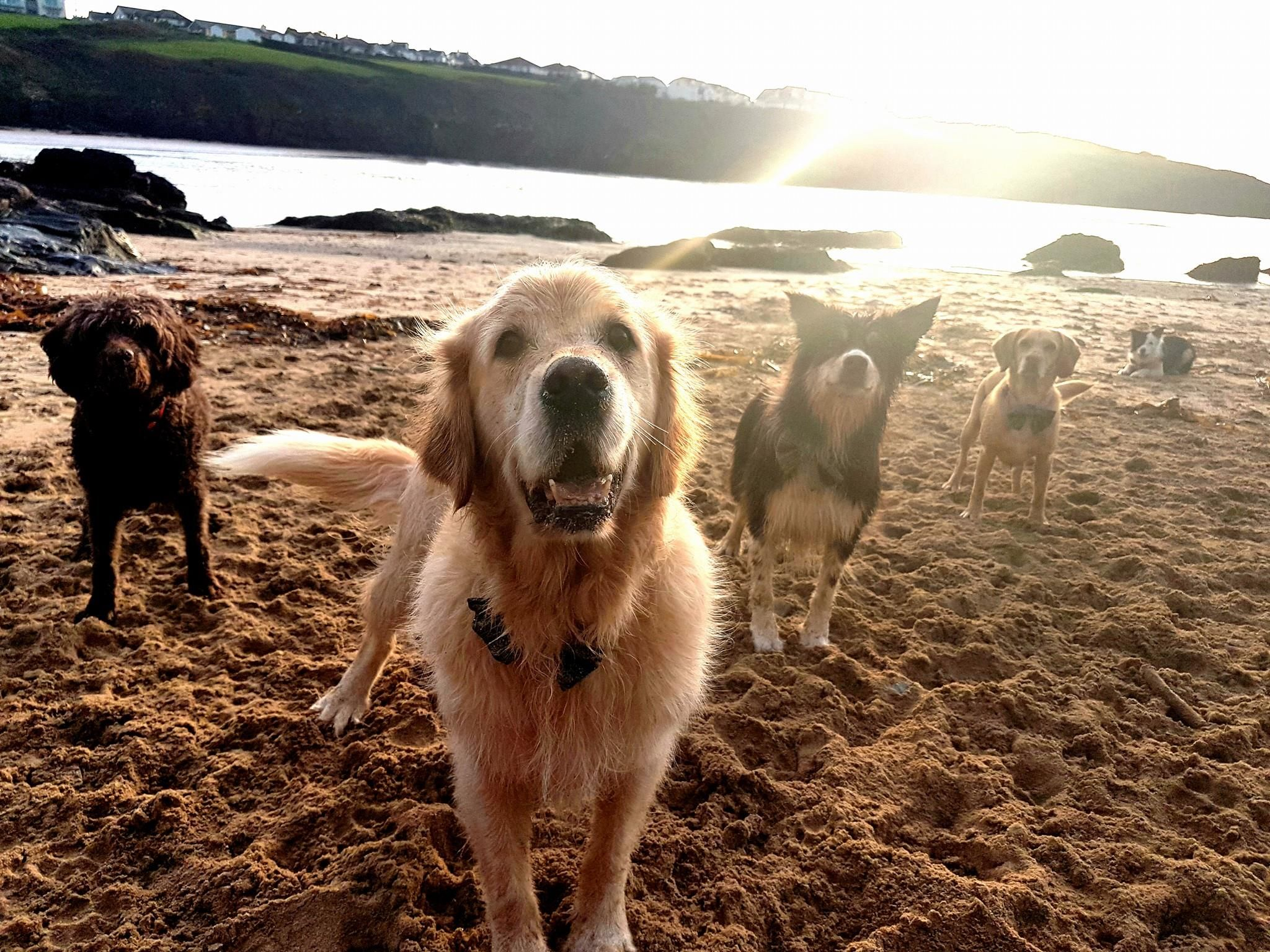 Dogs At The Beach Old Lanwarnick Luxury Cottages In Cornwall Dog Beach Dog Friendly Holidays Luxury Dog