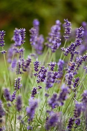 Lavender Flowers Stock Photo Colourbox Lavender Flowers Lavender Farm Lavender