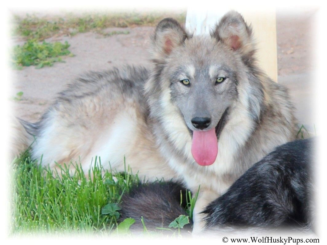 Blue Coat Wolf Cross Hybrid dog with green eyes | OUR