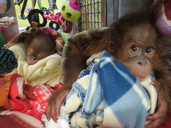 """The Hungarian roots 5 months old Bulu Mata at Monkey World... he is the """"big brother""""... with a 6 weeks old baby... Source: Facebook of Monkey World"""