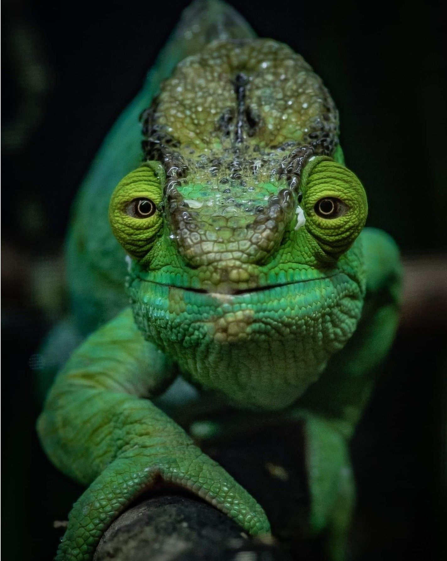 Animal Qui Change De Couleur : animal, change, couleur, Bright, Green, Chameleon, Happy, Chester, Animals,, Animal, Pictures