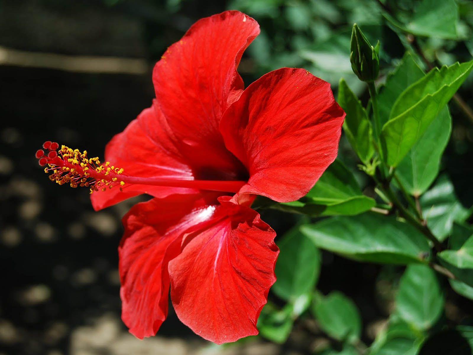 Hibiscus flower androecium of hibiscus flower typesofflower hibiscus flower androecium of hibiscus flower typesofflower typesofflower izmirmasajfo