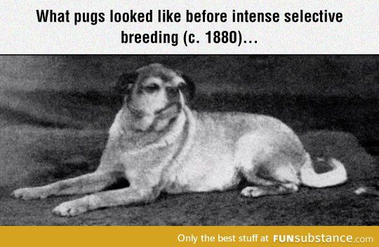 Pugs Before Selective Breeding Pugs Selective Breeding Poor Dog