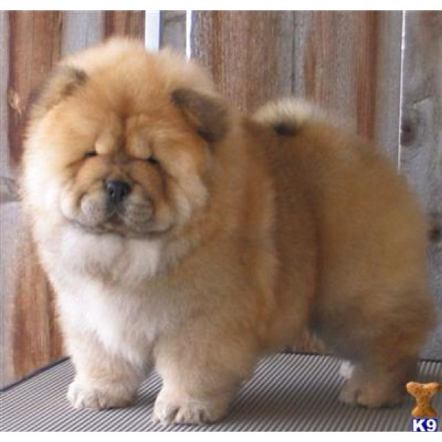 I Want One Because It Looks Like A Lion When Its Hair Is Fully