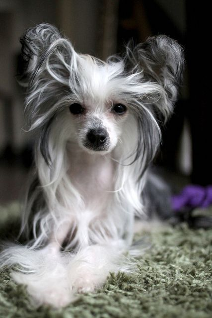 Chinese Crested  ... This is one of the most beautiful of this breed I've seen.  It looks like it has a little Papillion in the lineage somewhere.