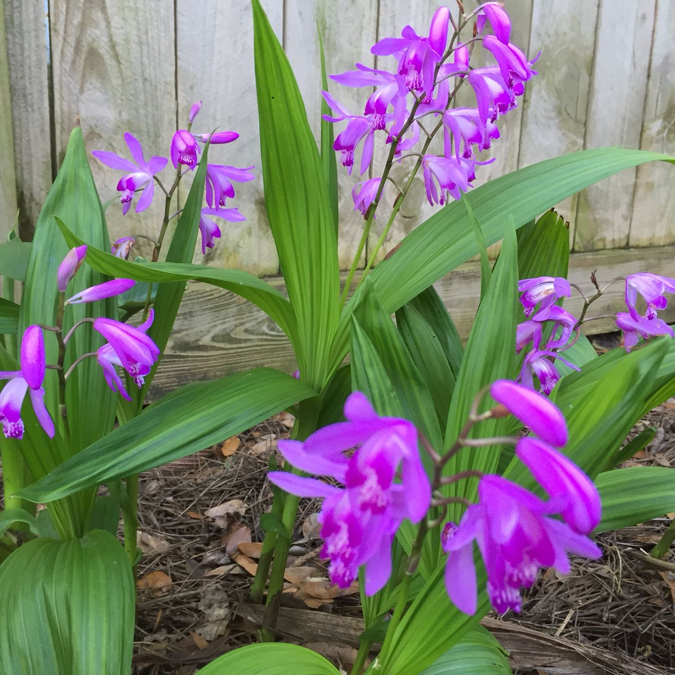 Bletilla orchid orchids pinterest orchid plants and flowers