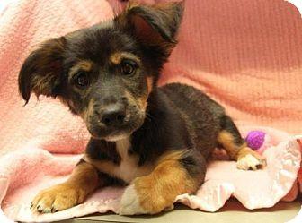 Collie German Shepherd Dog Mix Dog For Adoption In Northville