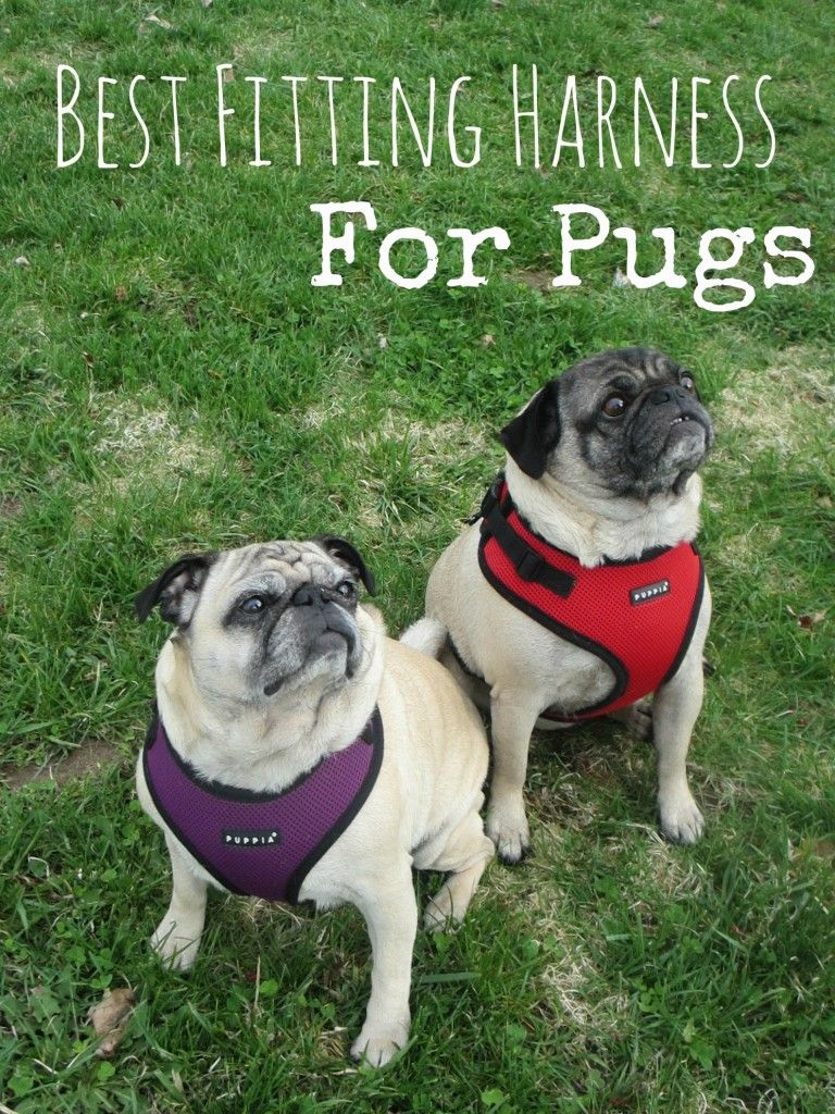 The Best Fitting Harnesses For Pugs Puppia Ritefit Review From