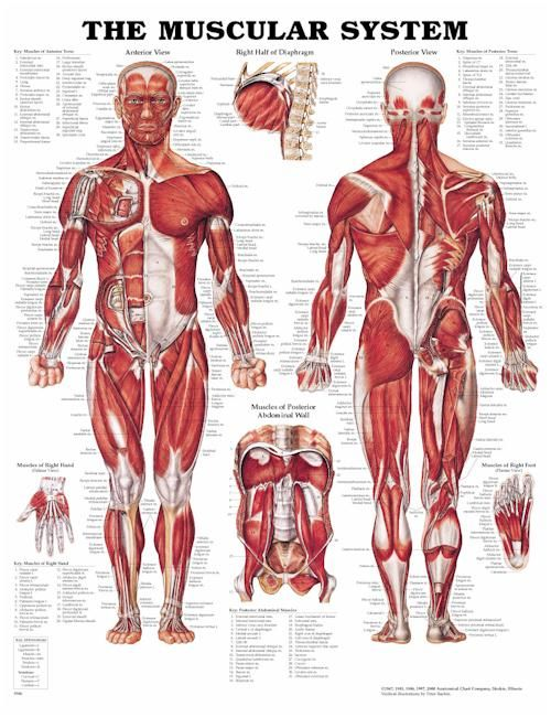 muscle anatomy shorthand version! Biceps, triceps, pecs, back, abs ...