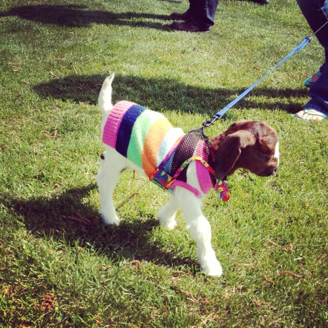 Baby goat on a leash wearing a sweater Sis maybe goats