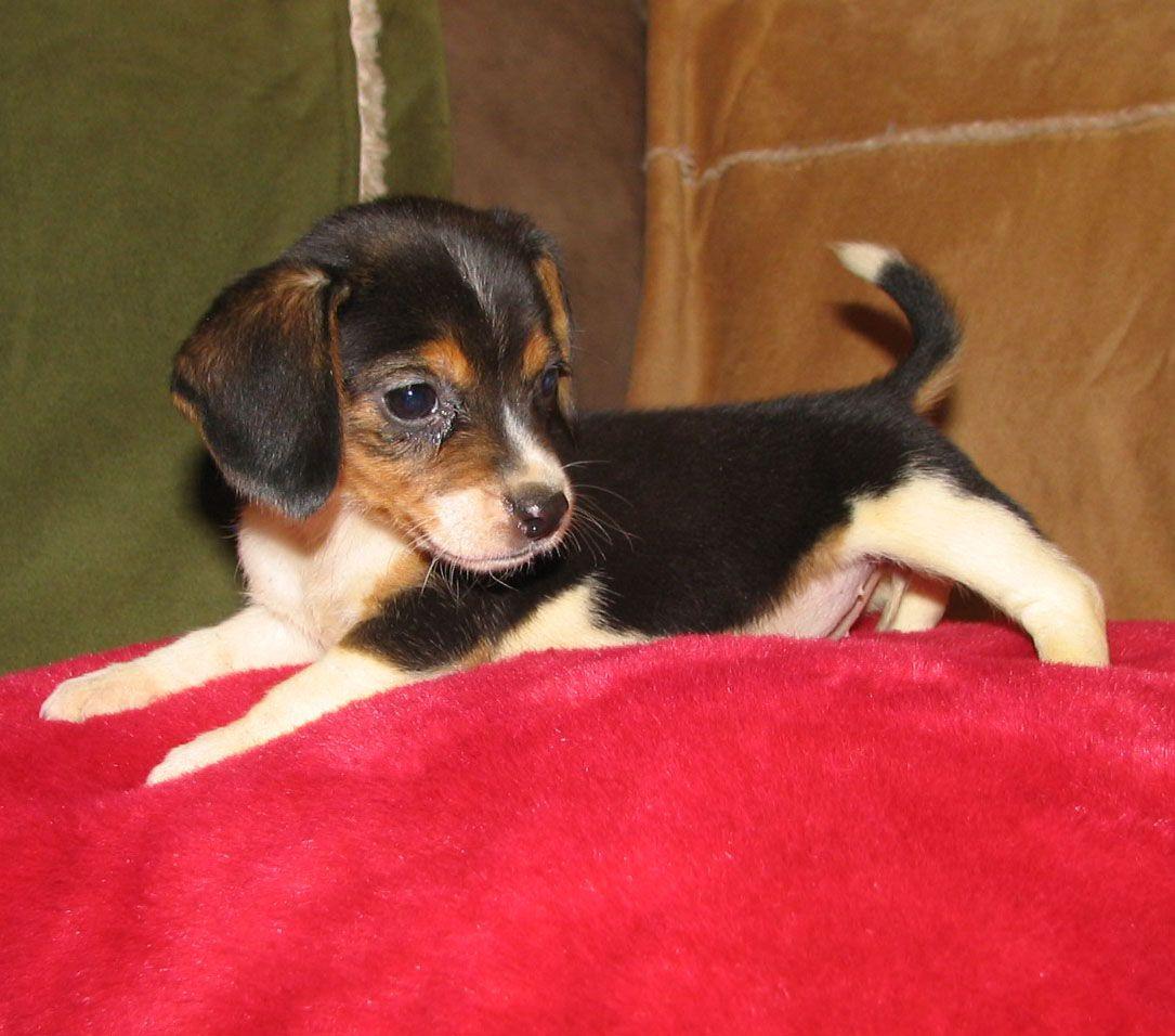 OMG I want one....Pocket Beagle | Pocket Beagle ...